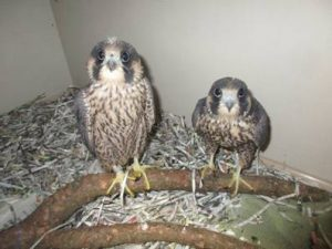 falcons